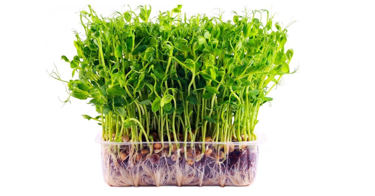 microgreen farming